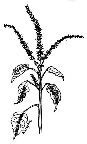 Common Amaranth Western U.S.