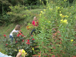 Foraging for  Evening Primrose