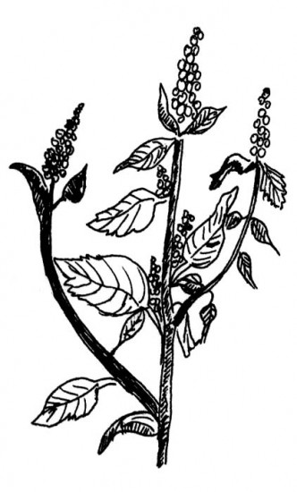 Common Amaranth, Eastern U.S.